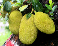Giant Jackfruits in tree Royalty Free Stock Photography