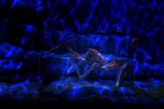 Giant Japanese spider crab. In aquarium, Singapore royalty free stock photos