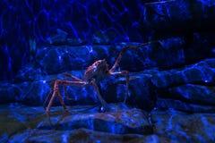 Giant Japanese spider crab. In aquarium, Singapore stock image