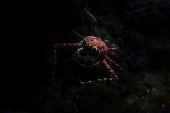 Giant Japanese spider crab. In aquarium, Singapore royalty free stock images