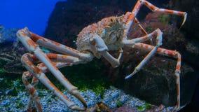 Giant japanese spider crab. Macrocheira kaempferi stock photos