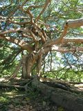 Giant Javan Fig Tree - Roots and branches Royalty Free Stock Photo