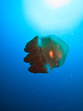 Giant jelly fish Great Barrier Reef Australia. Giant jelly fish floats on the edge of the Great Barrier Reef Australia royalty free stock photography