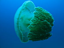 Giant Jelly Fish Great Barrier Reef Australia. Giant Jelly Fish Swimming on Great Barrier Reef Australia Stock Photos