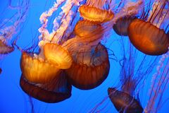Giant jelly fishes Stock Photos