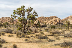 Giant Joshua Tree. Big Joshua Tree in the National Park Stock Images