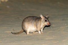 Giant jumping rat Stock Photo
