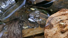 Giant jungle toad in creek. Giant jungle toad Phrynoidis aspera in creek at tropical rain forest stock video