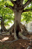 Giant Kapok Tree, Key West. A huge Kapok tree with above ground knotted root system, green leaves Royalty Free Stock Images