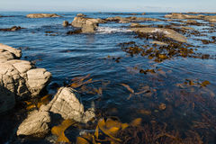Free Giant Kelp Floating In Ocean Royalty Free Stock Photography - 69745937
