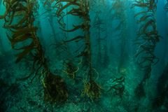 Giant Kelp Forest in California. Giant kelp Macrocystis pyrifera grows in a thick, underwater forest near the Channel Islands in California. This area is part of Stock Photography