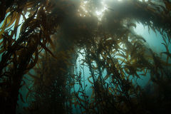 Giant Kelp Forest Royalty Free Stock Photo