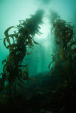 Giant Kelp Growing in California Stock Photo