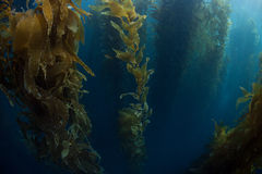 Giant Kelp Growing. Giant kelp grows in a thick forest off the Channel Islands of California. Kelp provides important habitat for many species of fish and Royalty Free Stock Photos