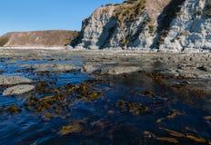 Giant kelp growing at Kaikoura coastline Stock Photo