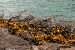 Giant kelp growing Stock Photography