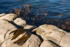 Giant kelp growing on rocks Stock Photos