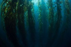 Giant Kelp Growing in Underwater Forest Stock Photography