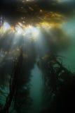 Giant Kelp and Light Stock Photos
