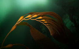 Giant Kelp 1 Royalty Free Stock Photo