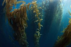 Giant Kelp Forest in California Royalty Free Stock Photos