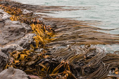 Giant kelp in sea Stock Photos