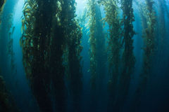 Giant Kelp and Shadows Royalty Free Stock Images