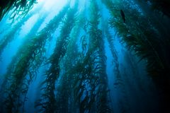 Giant Kelp Underwater Forest in California Royalty Free Stock Photos
