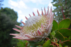 Giant King Protea Royalty Free Stock Image