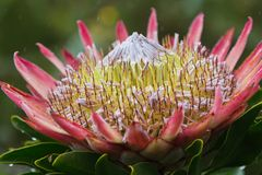 Closeup photo of The Giant or King Protea, Protea cynaroides of the Proteaceae family in raining day. South Africa, Cape royalty free stock photos