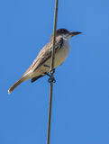 Giant Kingbird on a wire Royalty Free Stock Photo