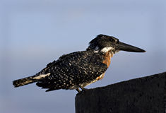 Giant Kingfisher Stock Photo