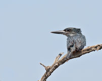 Giant Kingfisher Royalty Free Stock Images