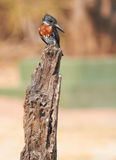 Giant Kingfisher Royalty Free Stock Image
