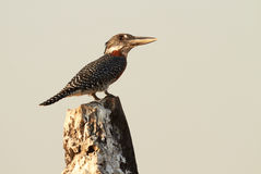 Giant Kingfisher Stock Photos