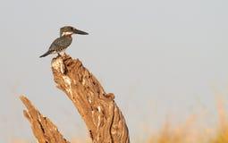 Giant Kingfisher Royalty Free Stock Image