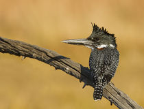 Giant Kingfisher Stock Image