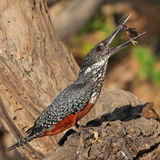 Giant Kingfisher eating a crab on a tree stump Stock Image