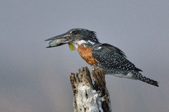 Giant Kingfisher eating a fish on a tree stump Royalty Free Stock Photos