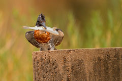 Giant kingfisher with fish. Young giant kingfisher, South Africa, holding a small fish brought by his parents Stock Photos