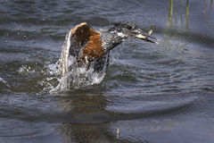 Giant Kingfisher. With fish in his beak Stock Images