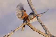 Giant Kingfisher. With fish in his beak Royalty Free Stock Image
