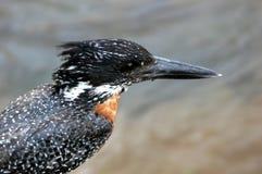 Giant Kingfisher (Megaceryle maxima) Stock Photo