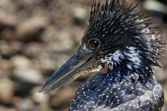 Giant Kingfisher (Megaceryle maxima) Royalty Free Stock Photos