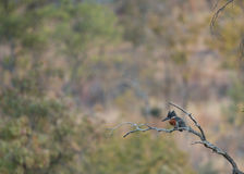 Giant Kingfisher. A giant Kingfisher on a perch hunting Royalty Free Stock Photography