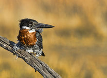 Giant Kingfisher perched Royalty Free Stock Photo