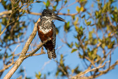 Giant Kingfisher South Africa Stock Photo