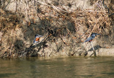 Giant Kingfishers Royalty Free Stock Photos