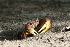Giant Land Crab. Mangrove Crab (giant land crab Stock Images