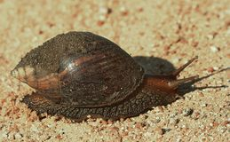 Giant Land Snail Royalty Free Stock Photo